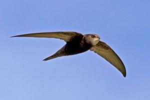 martinet vogelwarte